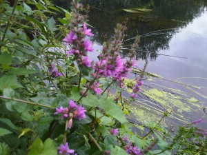 Purple Loosestrife (Lythrum sclicaria)