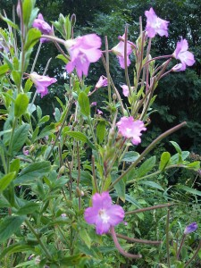 Great Willowherb (Epilobioum hirsutum)